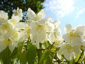 Magical Properties of Jasmine Oil