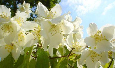Magical Properties of Jasmine Oil