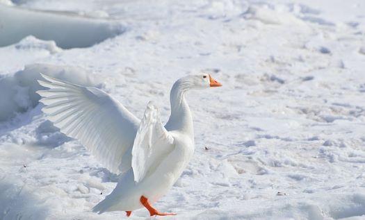 Winter Snow Goose